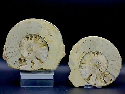 Pair of  Ammonites- Ilminster, Somerset, UK  -Jurassic - Each with a Stand
