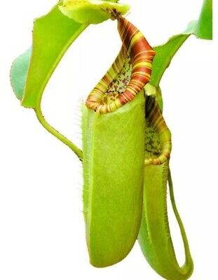 Nepenthes chaniana x veitchii, Striped, Easy To Grow carnivorous plant Hybrid.