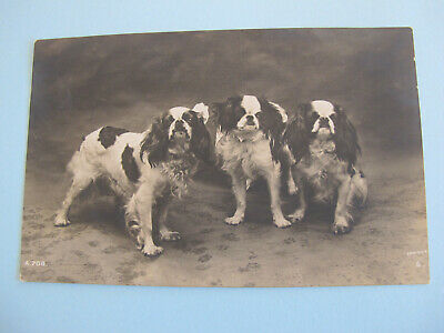 Cavalier King Charles Spaniels Dogs Real Photo Postcard 1912