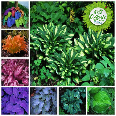 200pcs Mixed Seeds 24 Color Exotic Hosta Plant Four Seasons Flower Perennial