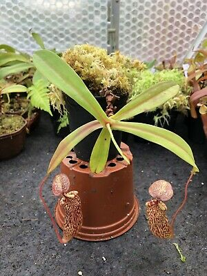 Nepenthes spectabilis x ventricosa, Pink Form, LAST ONE!