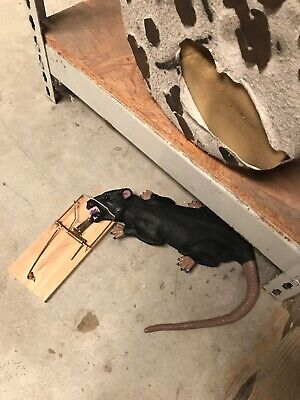 Rat In Trap Prank Gag Animated Prop Halloween Horror Animatronic Sound Activated