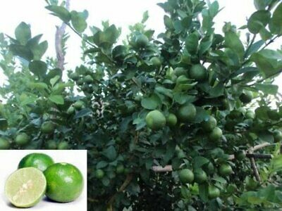Citrus Key Lime/Verde  lime/Green Lime/Rare/indoor-Out door plants