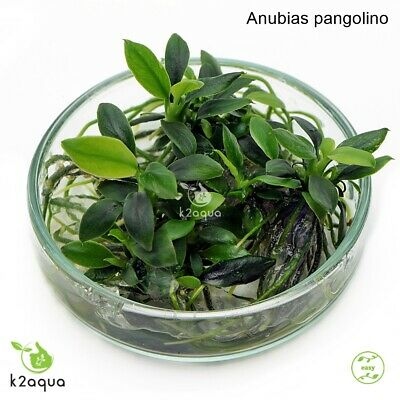 Anubias nana Pangolino In Vitro Live Aquarium Plants Tropical Shrimp Safe InVitr