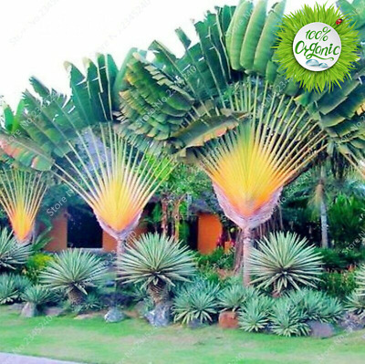 Sago Palm Tree Seeds Cycas Indoor Dwarf Potted Outdoor Plants for Garden 10pcs