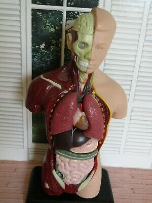 Educational Anatomical Human 24cm Torso Body Kids Medical Removable Parts
