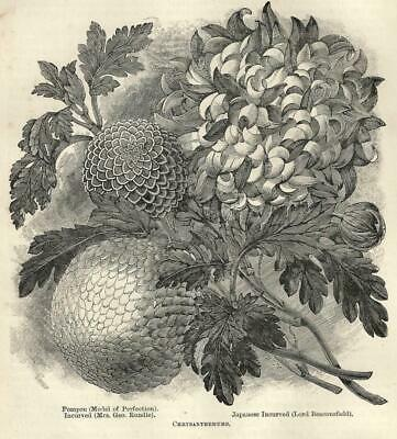 Two 1893 Botanical Prints Chrysanthemums Florist Garden Flowers -See Pictures!