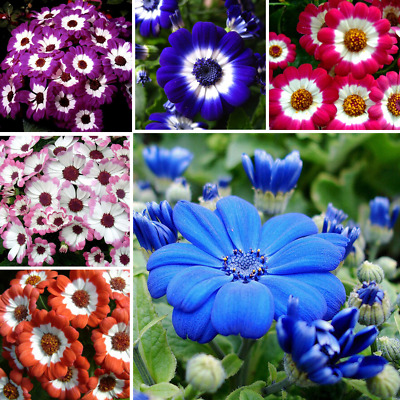 400 PCS Cineraria Mixed Color Bonsai Potted Flower Perennial Plant Home Garden