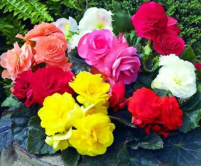 400 PCS Mixed Begonia Flower Potted Bonsai Indoor Garden Wall Plant Home Seeds