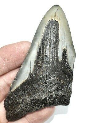 Large Fossil Sharks Tooth Carcharodon megalodon 4 inches long Ref STQ.MD4