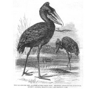 Shoebill or Stork of the White Nile at Regents Park Zoo - Antique Print 1860