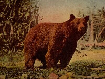 Vintage Postcard - A Yellowstone Park Bear In The Wild