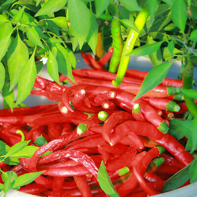 50pcs Red Chili Hot Pepper Potted Bonsai Garden Plant Seed