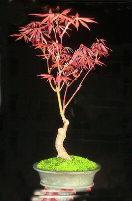 Create Miracle!Amazing Exotic Perennial Red Maple Tree Seeds Garden Decor~