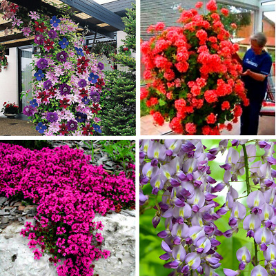 Bonsai Flowers Climbing Plants Tree Home Garden Plant Courtyard Potted Seeds