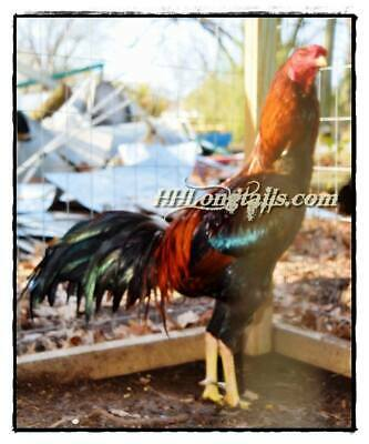7 PURE ED Flynt Cobra Asil Hatching Eggs Oriental Chicken Aseel
