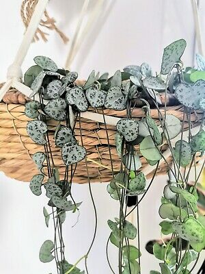 CEROPEGIA WOODII Cutting Esqueje 20 cm Hanging Trailing String of hearts vine