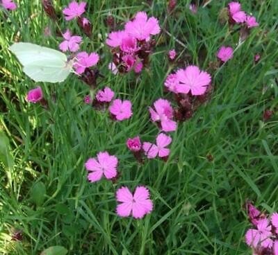 Dianthus Scent from Heaven Angel of Purity-Pinks Plant in 10.5 cm pot