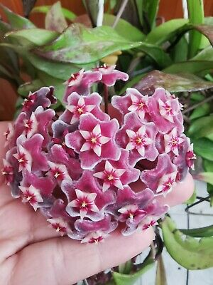 HOYA PUBICALYX Royal Hawaiian Purple  1 x Cutting Esqueje 15 cm Live Wax plant