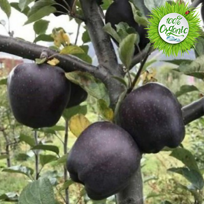 Black Diamond Apple Seeds Rare Fruit Tree Plants Apple Bonsai Home Garden 50pcs