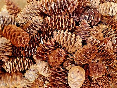 150 Hand Picked 2019 Native Maine Pine Cones Unscented Crafts Holiday