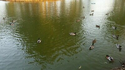 Digital Photo Picture Image Wallpaper Screensaver Desktop - Aduck Park#2 Israel