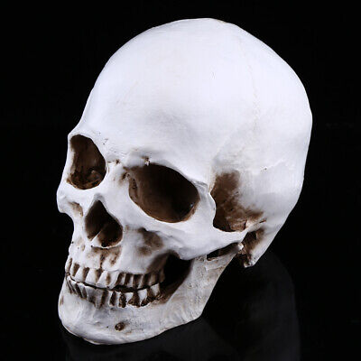 Life Size Anatomical Deluxe Human Skull Model Medical Skeleton Anatomy Replica