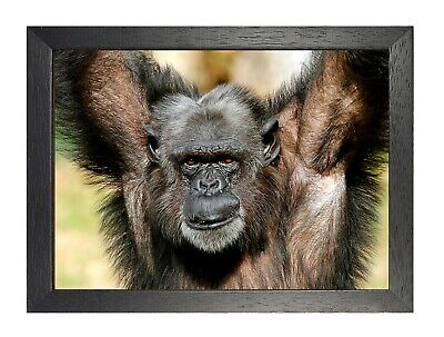 Monkey #9 Poster Funny Old Wild Animal Picture Mammals Photo Ape Artwork Print