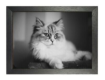 Norwegian Forest Cat with Blue Eyes Poster Wild Animal Picture Black and White