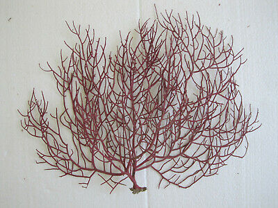 Coral gorgonia red. 250 x 200 mm.