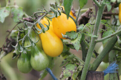 30 Graines De Tomate Yellow Pearshaped