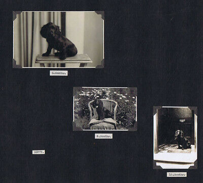 Pet Spaniel Dog Portraits 3 Months to 15 Months - 3x Vintage Photographs  c1938