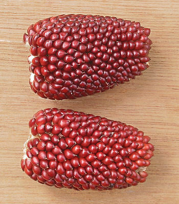 15 semi mais fragola rosso antico seeds samen BIO rare granoturco strawberry