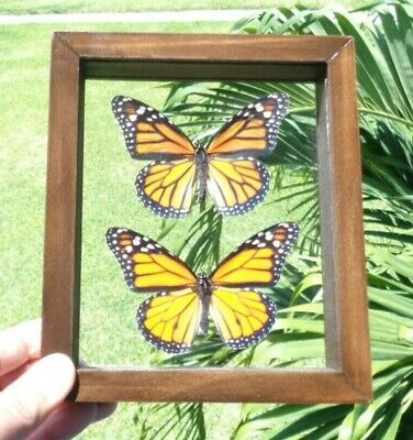 Real Framed Butterfly North American Monarch Male & Female Danaus Plexippus