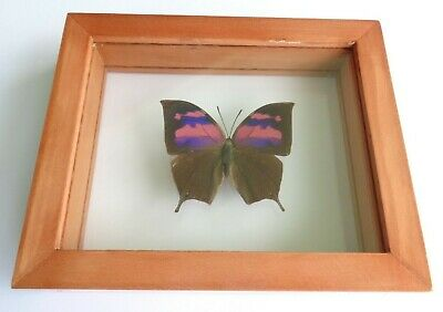 Real Framed Butterfly Pink & Purple Anaea Nessus  Double Glass Great Finish