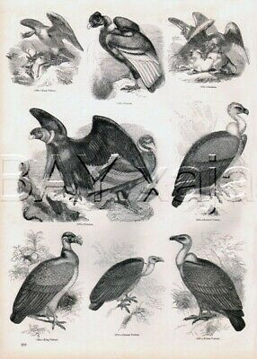 BIRD Vulture Condor King Chinese, Antique 1840s Print