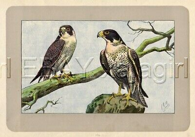 BIRD Peregrine Falcon, Rare Antique 100-Year-Old French Bird Print-- Nice