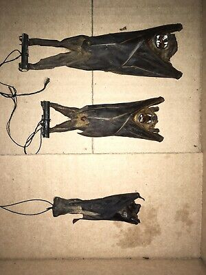 Hanging Scotophilus Kuhlii Real Bat Indonesia Taxidermy