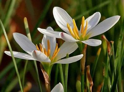 Zephyranthes candida White Rain Lily Marginal Pond Garden Flower Live Plants.