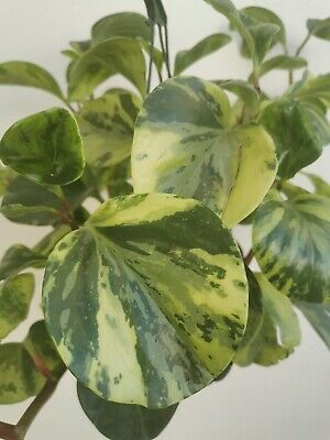 PEPEROMIA OBTUSIFOLIA MARBLE Lime green 1 x Cutting  Tropical Succulent plant