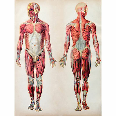 Human Body Anatomy Muscles Large Wall Art Print Canvas Premium Poster