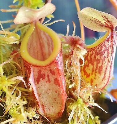 Rare Nepenthes Nepenthes glabrata. Carnivorous tropical pitcher plant
