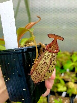 Nepenthes robcantleyi x (spectabilis x aristolochioides) BE-3966, Great hybrid