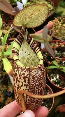 Nepenthes spectabilis Gng.Perkinson, Giant Selected Clones BE-3322