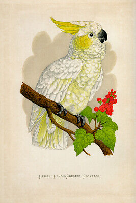 WT Greene Parrots in Captivity Lesser Lemmoncrested Cockatoo Wildlife Print