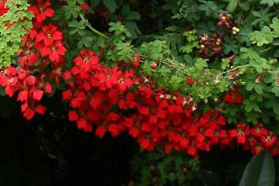 Tropaeolum Speciosum - Scottish Flame Flower - 25 Seeds - 2019