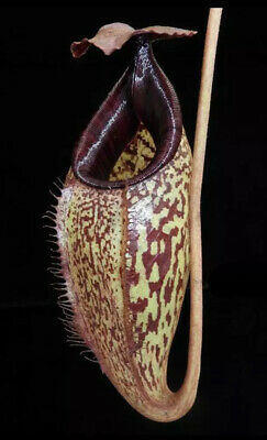 Nepenthes burbidgeae x aristolochioides BE-3784, Lovely Pitcher Plant Hybrid