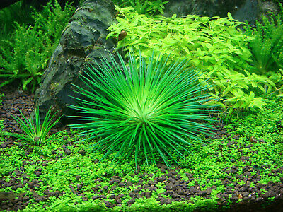 Tropica In Vitro 1-2 Grow eriocaulon cinereum