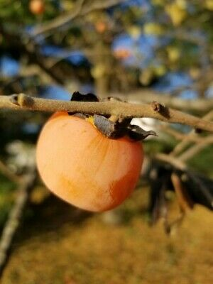 Native Fruit Tree Seeds Fresh 2018 Diospyros virginiana 200 American Persimmon
