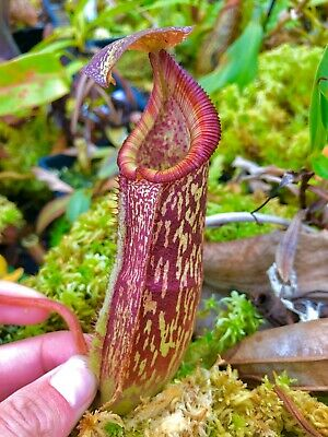Nepenthes maxima (xtrusmadiensis) BE-3709, Very colourful 8cm+